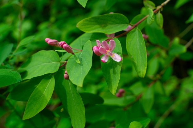 Lonicera tatarica green leaves and flowers on blurred background