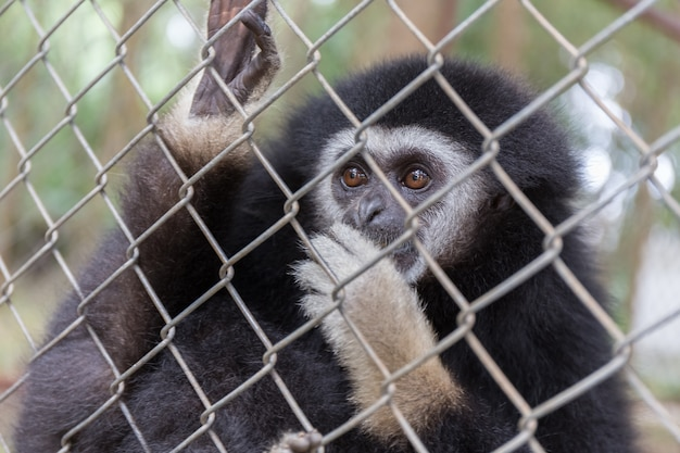 Lonly gibbon behind the cage in the park