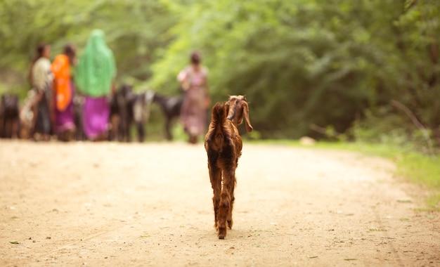 Lonly goat