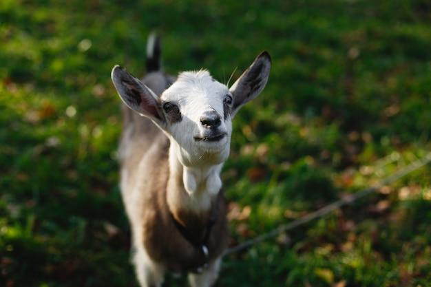 녹색 잔디밭에서 매력적인 흰 염소를 위에서 본다