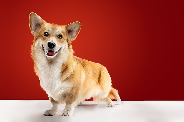 Look into my eyes. welsh corgi pembroke puppy is posing. cute fluffy doggy or pet is sitting isolated on red background. studio photoshot. negative space to insert your text or image.