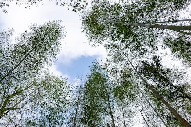 Посмотрите на высокий бамбук в бамбуковом лесу.