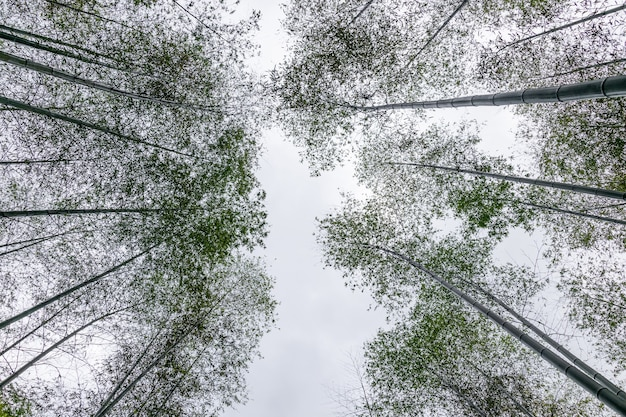 Look up at the bamboo forest in the mountain