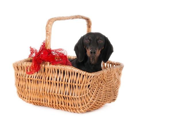Ищу таксу в плетеной корзине с рождественским оттенком.