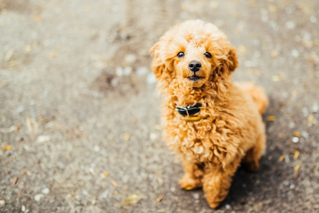 Looking up brown cute poodle puppy sitting on ground.