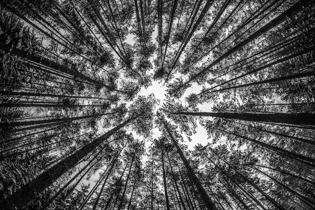Looking up at the forest in winter