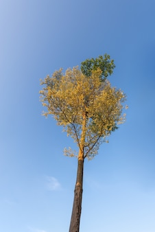 Looking up at the trees under the blue sky, half the leaves are yellow and half green