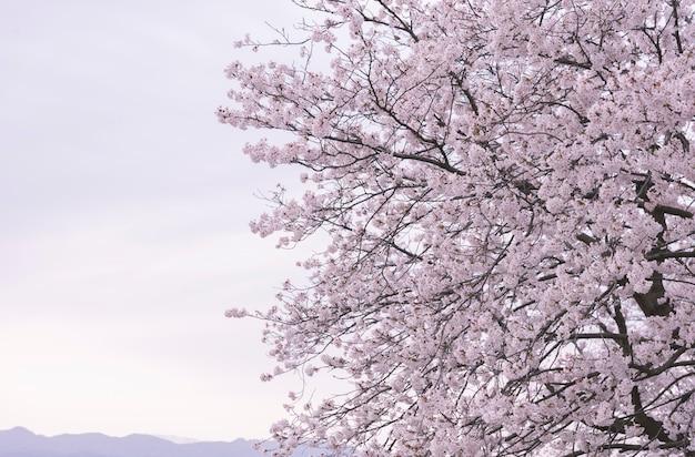 Looming sakura cherry blossom background in spring