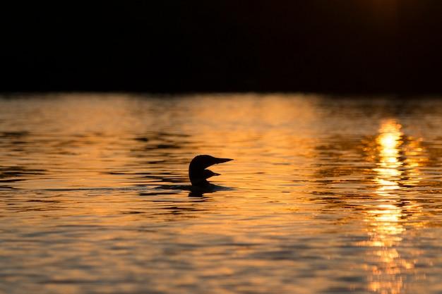Лоун в озере на закате, озеро вудс, онтарио, канада