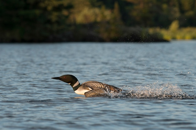 Loon skimming over the water, lake of the woods, ontario, canada