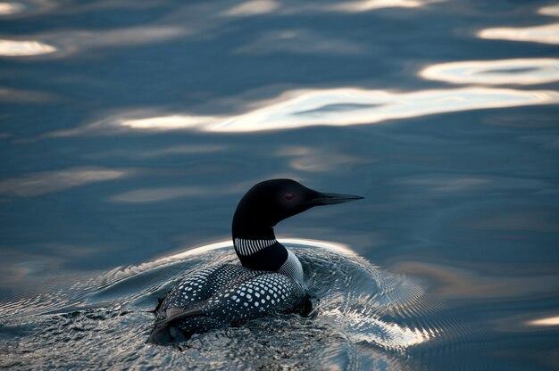 Лоун, купание в воде на озере вудс, онтарио