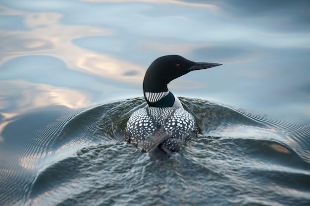 Лоун, купание в воде на озере вудс, онтарио Premium Фотографии