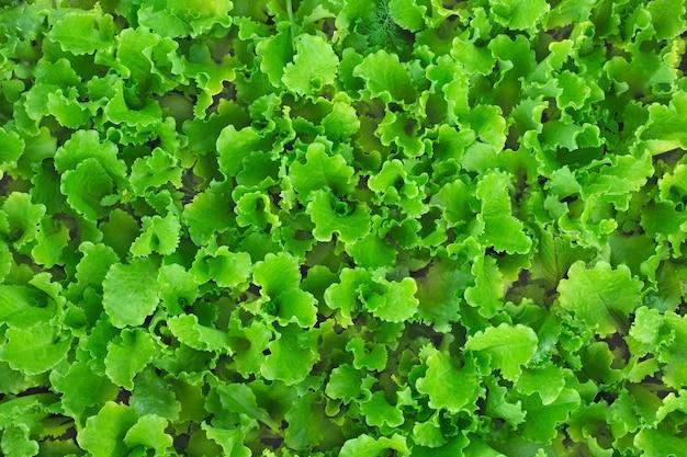 ゆるい葉レタスサラダ上面図緑のビーガンガーデン緑の茂みのようなキャベツの背景とコピー