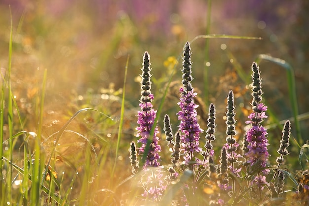 夜明けの牧草地でのミソハギlythrumsalicaria
