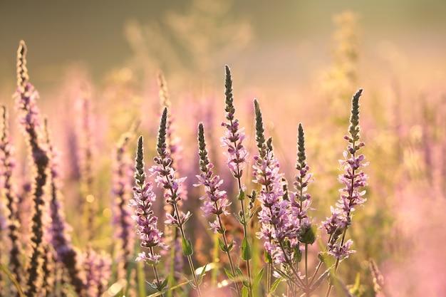 ミソハギ-夜明けの牧草地のlythrumsalicaria