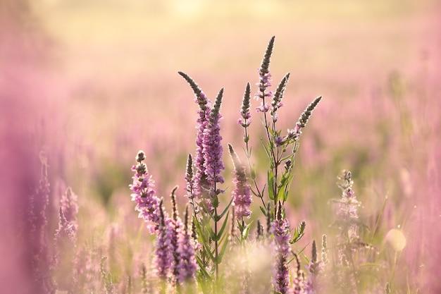 ミソハギ-日の出の間の牧草地のlythrumsalicaria