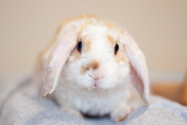 Lop ear little red and white color rabbit