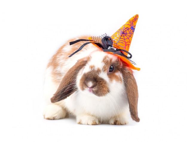 かわいいオランダlopウサギは白地にハロウィーンの帽子をかぶる。