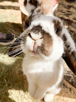 A lopeared rabbit stands on its hind legs and looks directly into the camera