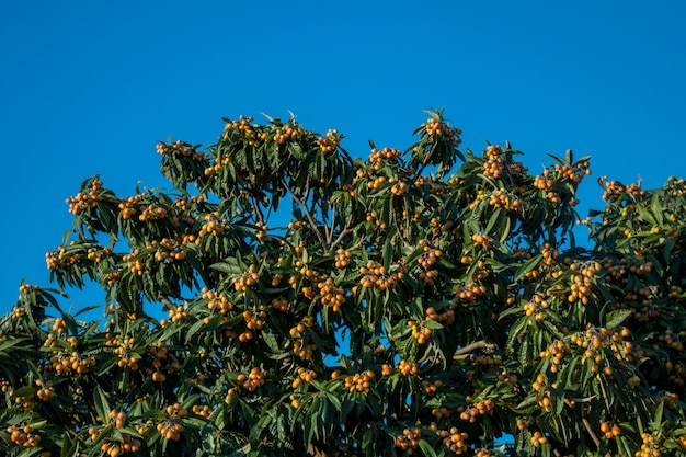 Loquat tree with fruits