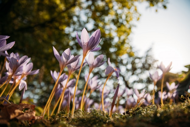 Ðâ¡lose up of colchicum autumnale/ crocus - autumn flower on the field, tree on blurred background, bottom view