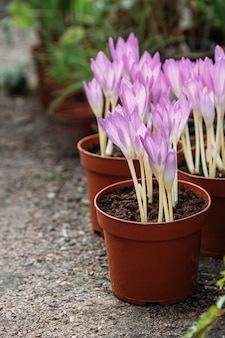 Ð¡lose up of colchicum - spring flower seedlings at greenhouse