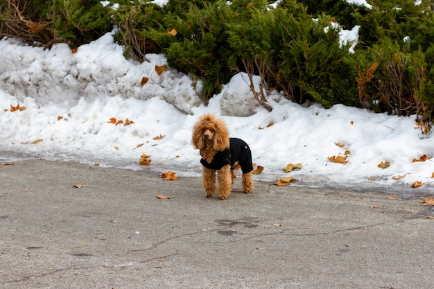 The lost red poodle with black coat on stands in the middle of a city park