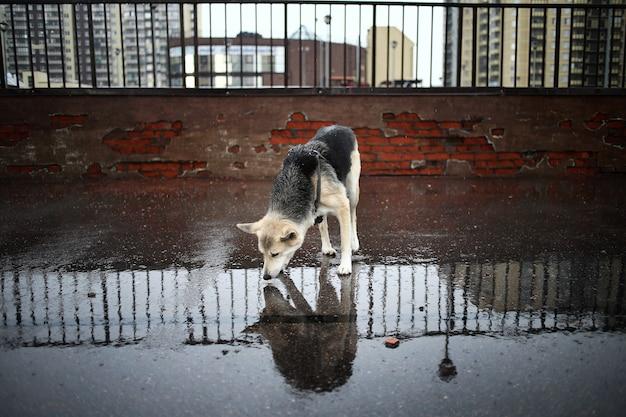 Потерянная овчарка с упряжью пьет воду из лужи, стоя на мосту в городе