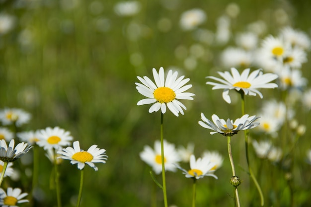 A lot of chamomile on a green meadow