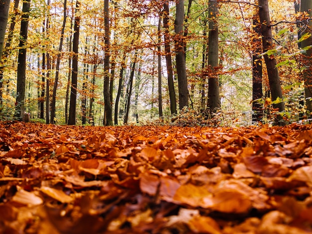 Molte foglie secche d'acero autunnali cadute a terra circondate da alberi ad alto fusto