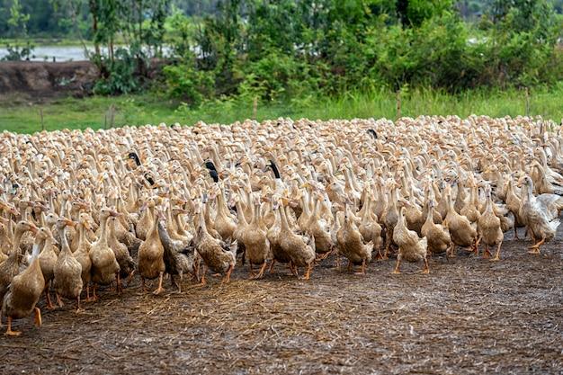 A lot of ducks in vietnam, industry farm concept