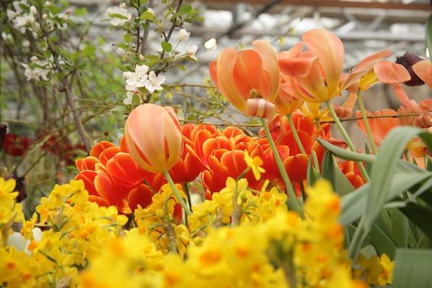 たくさんの美しい赤と黄色のチューリップと水仙の花