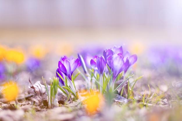 春には青と黄色のクロッカスの花がたくさん咲き、公園には美しいクロッカスが咲きます。春の花と太陽が輝いています