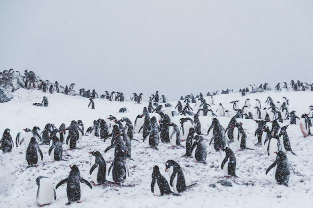 吹雪の中の雪に覆われた頂上のペンギンがたくさん