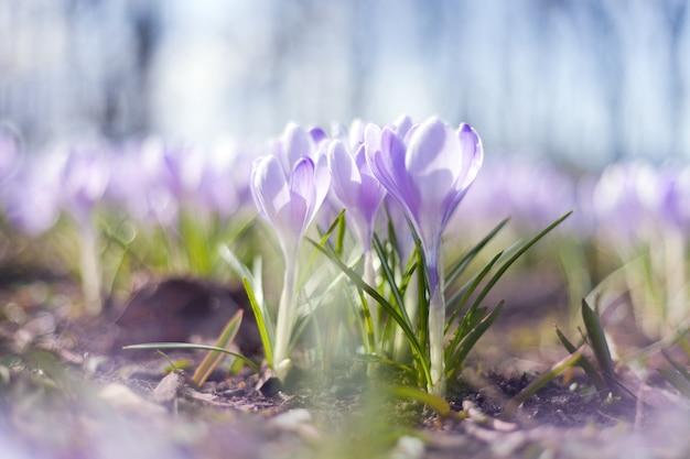 春には紫のクロッカスの花がたくさん咲き、公園には美しいクロッカスが咲きます。春の花、輝く太陽