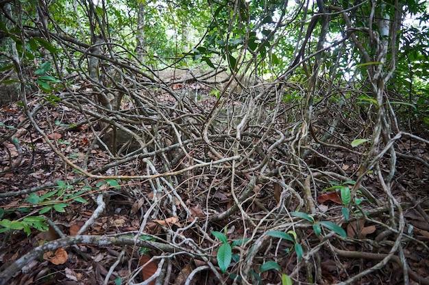 熱帯林にはたくさんのブドウの木があります。パンガン島。タイ