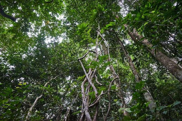 熱帯林にたくさんのブドウの木