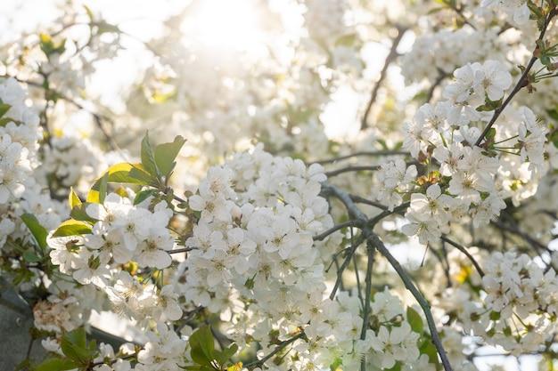 정원에 있는 과일 나무의 피는 가지에 많은 흰색 꽃