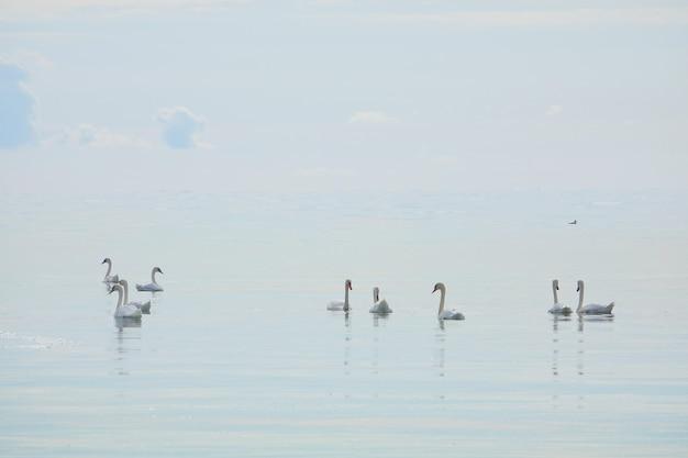 青い背景の美しいエレガントな王室の鳥が泳いで湖に白いオオハクチョウがたくさん白鳥