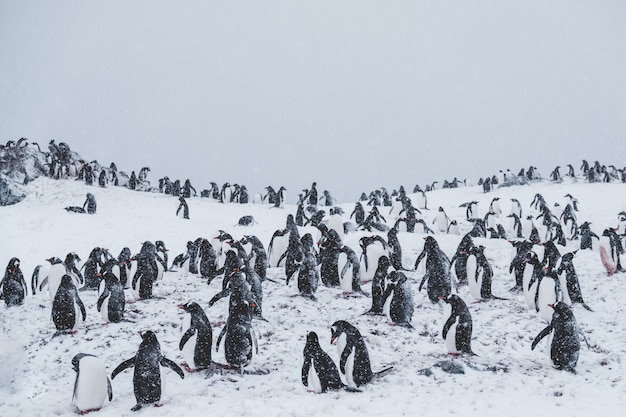 Lot of penguins on a snowy summit amongst snowstorm