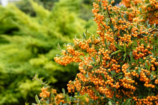 A lot of ripe berries of sea-buckthorn on the branches close up.