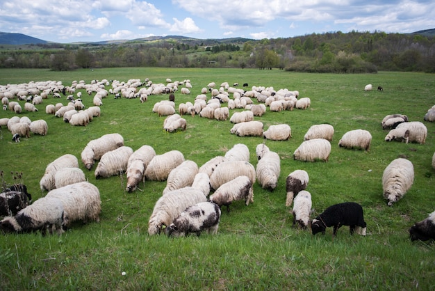 A lot of sheep on mountain field