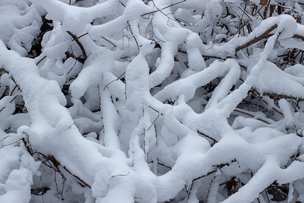 A lot of snow on the branches in the winter close-up