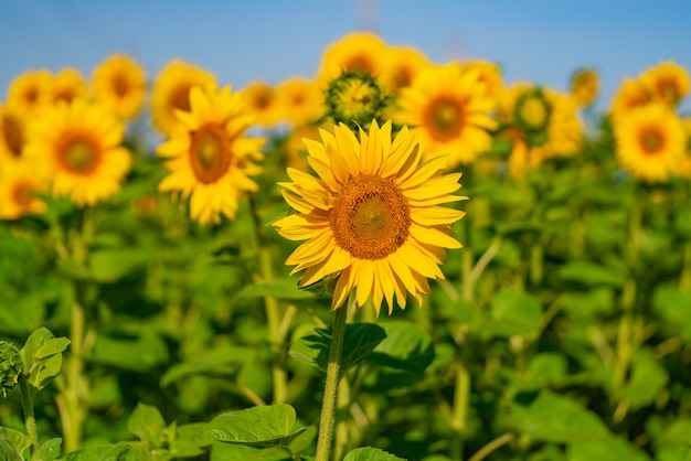 A lot of sunflowers bloom in the field in a warm weather.