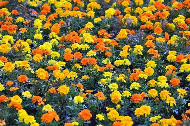 Lots of beautiful flowers in the garden. mexican, aztec or african marigold. tagetes erecta