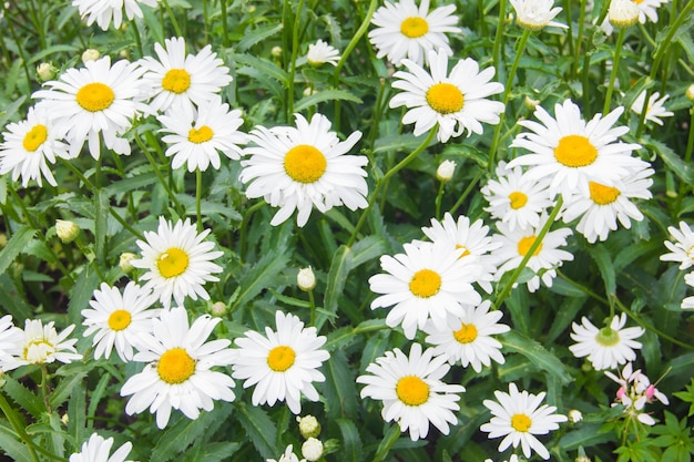Lots of daisies. field flowers. daisies with yellow centers on a green background