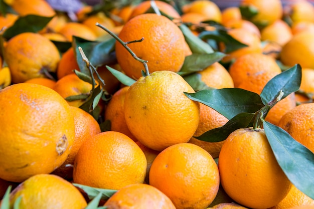 Lots of fresh oranges fruits plucked from branch of orange tree.