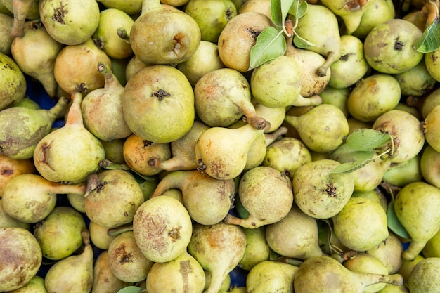 Lots of fresh pears fruits plucked from branch of pears tree.