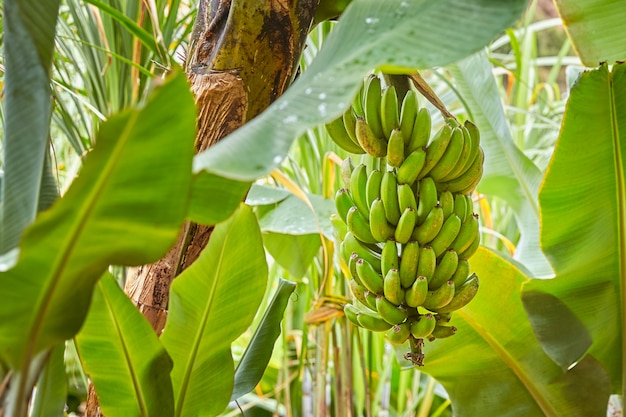 ポルトガル、マデイラのバナナがたくさん