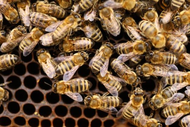 Крупным планом много пчел. пчелы на рамке в улье.
